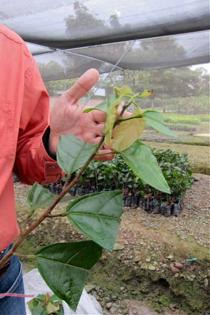 Schritt 1 der Abhärtung: halbierte Blätter