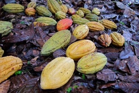 Kakaofrüchte Camino Verde ©Sarah Krobath